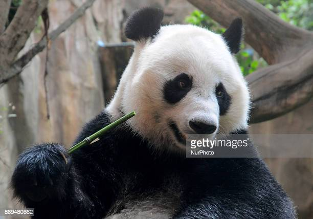 A female giant panda named Hu Chun eats during a media event at the Safari Zoo in Bogor Indonesia November 2017 A pair of pandas Cai Tao and Hu Chun...