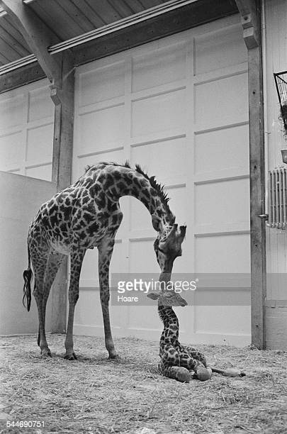 A female giraffe and her calf at Dudley Zoo West Midlands 1967