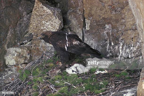 Female Golden Eagle with chicks