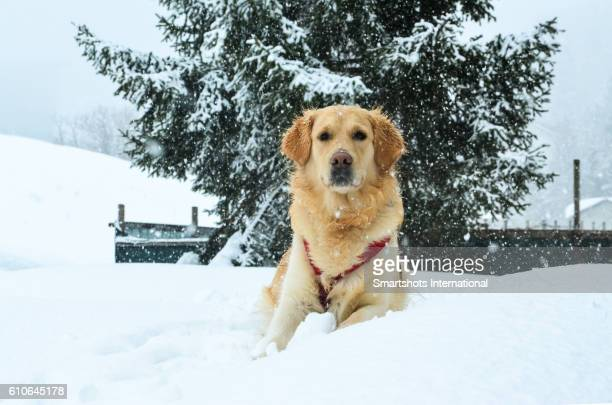 Female Golden Retriever posing on snow covered landscape with spruce Christmas tree background