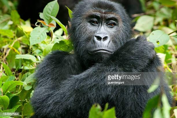 female gorilla in wildlife, kahuzi biega nationalpark, congo - iucn red list stock photos and pictures