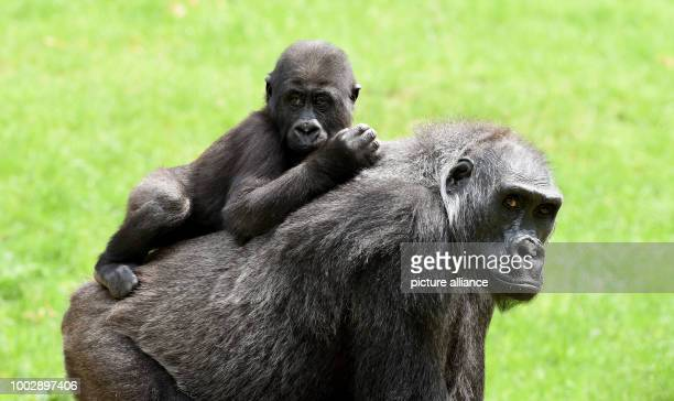 Female gorilla Kathi carries on her back her 18months old offspring Anandi in the free range of the Hannover Adventure Zoo in Hannover Germany 23 May...