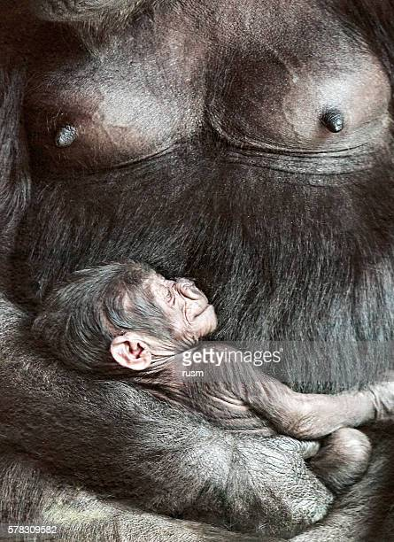 Female gorilla with baby