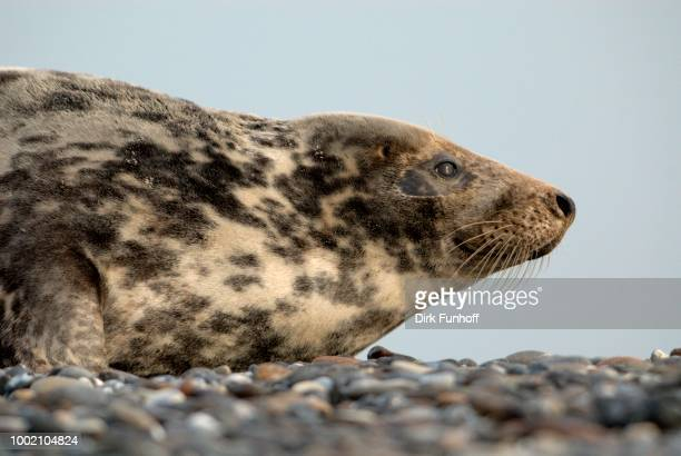 female gray seal (halichoerus grypus), heligoland, schleswig-holstein, germany - vista lateral stock pictures, royalty-free photos & images