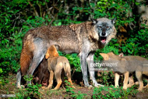 female gray wolf nursing pups - wild dog stock pictures, royalty-free photos & images
