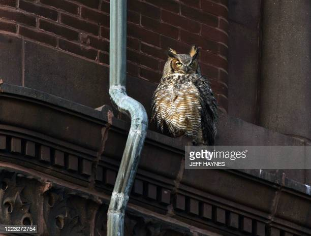 Female Great Horned Owl sits atop the Kane County Courthouse 26 March, 2007 over looking her nest of two young owletts in Geneva, Illinois. The Owl...