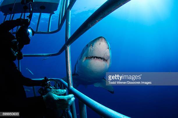 Female Great White and underwater photographer, Guadalupe Island, Mexico.