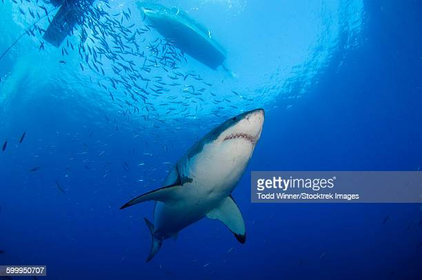female great white, guadalupe island, mexico. - great white shark stock photos and pictures