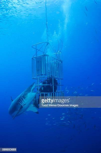 female great white shark and divers, guadalupe island, mexico. - shark attack - fotografias e filmes do acervo