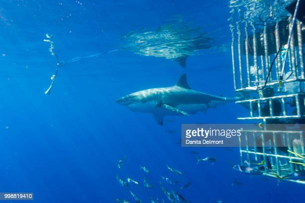 female great white shark (carcharodon carcharias) and school of rainbow runners (elagatis binpinnulata), guadalupe island, marine biosphere, baja california, mexico - great white shark stock pictures, royalty-free photos & images
