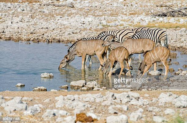 female greater kudus with calfs at a waterhole in etosha, namibia - ignatius tan stock photos and pictures