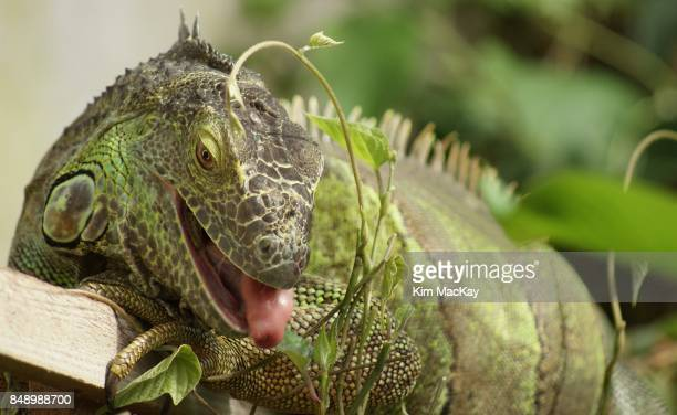 Female Green Iguana eating leaves