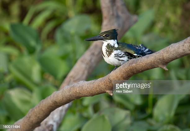a female green kingfisher, chloroceryle americana, resting on a branch. - alex saberi stockfoto's en -beelden
