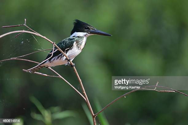 Female Green kingfisher in a tree eating a fish at a tributary of the Cuiaba River near Porto Jofre in the northern Pantanal, Mato Grosso province in...