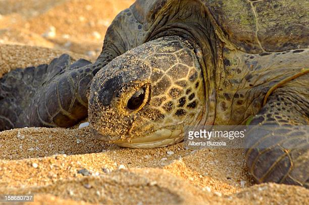 A female Green Turtle crawling on the sandy beach