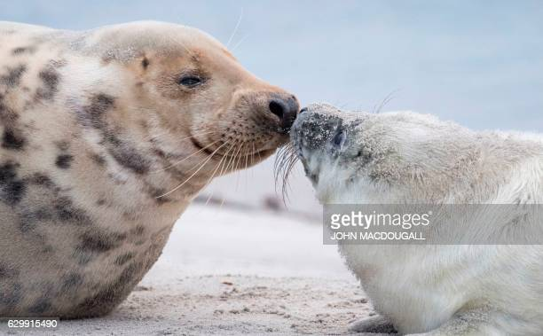 TOPSHOT A female Grey Seal gets close to her pup on a beach on the north Sea island of Helgoland Germany on December 14 2016 As the mating season...