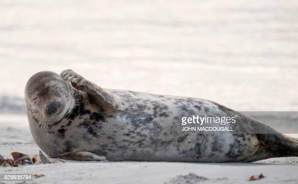 TOPSHOT A female Grey Seal scratches herself on a beach on the north Sea island of Helgoland on December 14 2016 Hundreds of Grey Seals use the...