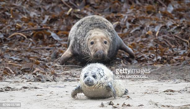 A female Grey Seal wriggles after her pup on the beach on the north Sea island of Helgoland Germany on December 14 2016 As the mating season starts...