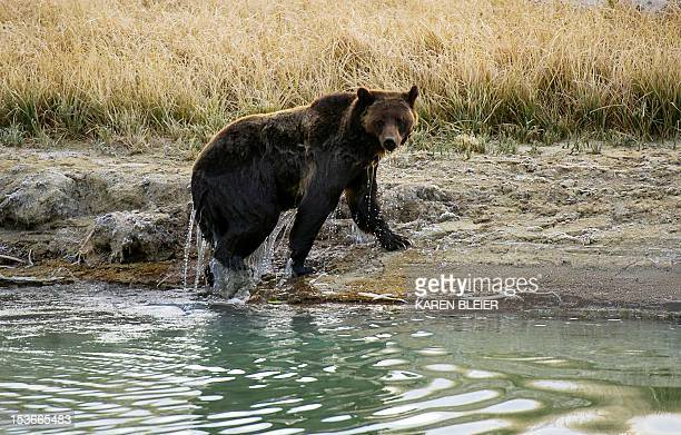 A female Grizzly bear exits Pelican Creek October 8 2012 in the Yellowstone National Park in WyomingYellowstone National Park is America's first...