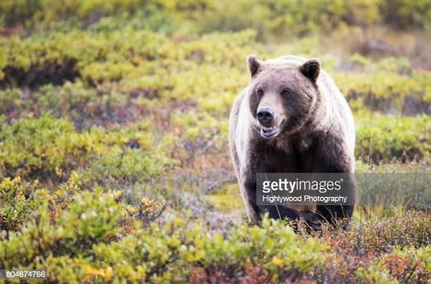 female grizzly mouth open - highlywood - fotografias e filmes do acervo