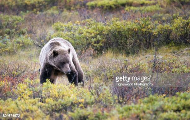 female grizzly urinating - highlywood stock photos and pictures