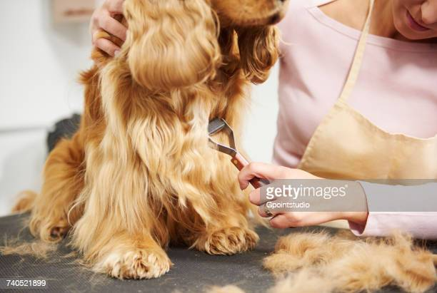 Female groomer brushing cocker spaniels chest on table at dog grooming salon