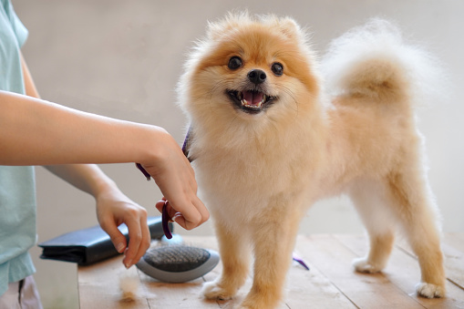 female groomer haircut Pomeranian dog on the table of outdoor. process of final shearing of a dog's hair with scissors. salon for dogs. 1184851389