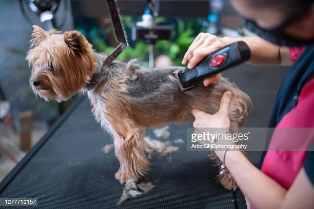 45 Female Yorkie Haircuts Photos And Premium High Res Pictures Getty Images