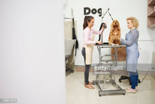 female groomers blow drying cocker spaniel at dog grooming salon - pet grooming salon stock pictures, royalty-free photos & images