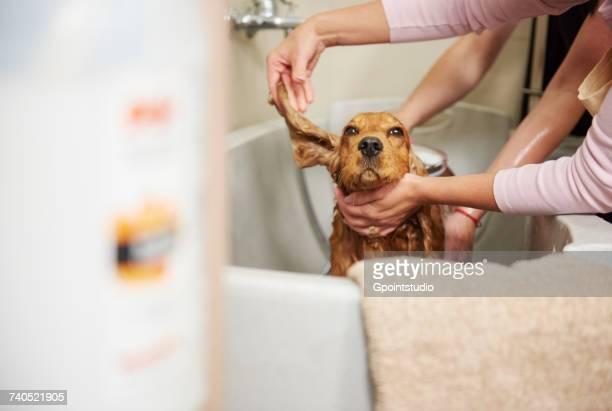 Female groomers showering cocker spaniel in bath at dog grooming salon
