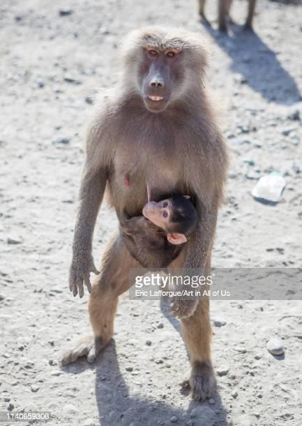 Female hamadryas baboon carrying a baby Dire dawa Ethiopian on January 10 2014 in Dire Dawa Ethiopia