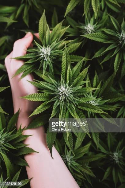 female hand grabbed a bush of marijuana - marijuana leaf stock pictures, royalty-free photos & images