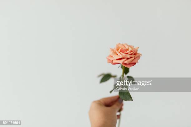 female hand holding a rose - peach flower stockfoto's en -beelden