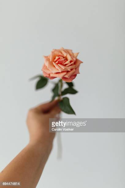 female hand holding a rose - rose colored stock pictures, royalty-free photos & images