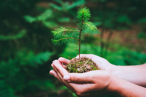 Female hand holding sprout wilde pine tree in nature green forest. Earth Day save environment concept. Growing seedling forester planting 1007270258