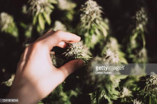 female hand holds a big cone of marijuana - 大麻草 ストックフォトと画像