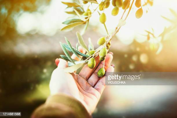 female hand touches olives on an olive tree, close up - オリーブ ストックフォトと画像