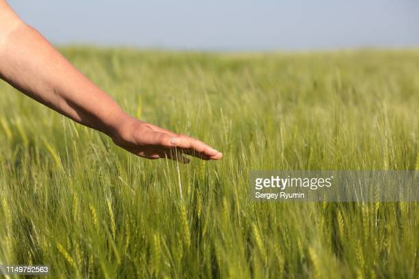female hand touches the tops of young rye in the field. - ivraie photos et images de collection