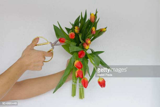 Female hands cutting tulips with scissors
