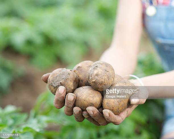 Female hands holding freshly picked potatoes.