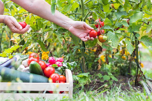 Female hands picking fresh tomatoes to wooden crate with vegetables. 1131453124