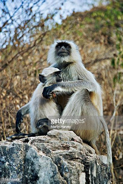 Female Hanuman Langur, Semnopithecus entellus, with baby; named after monkey-god Lord Hanuman, a central figure in the epic Ramayana. These animals are regarded as sacred in India. Distributed in India, Pakistan, Bangladesh, Sri Lanka and Burma