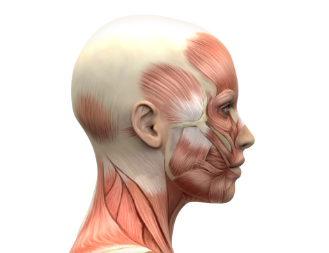 Female Head Muscles Anatomy - Side view 496193193