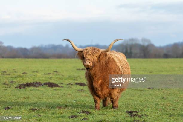 female highland cows in a field - herbivorous stock pictures, royalty-free photos & images