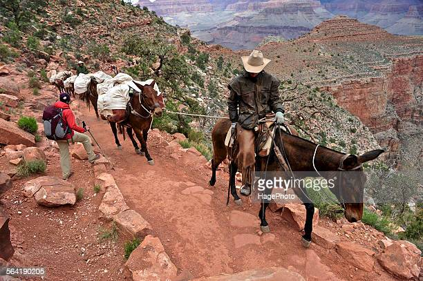 Female hiker waits for pack horses to pass on the South Kaibab Trail in Grand Canyon National Park north of Williams, Arizona May 2011.