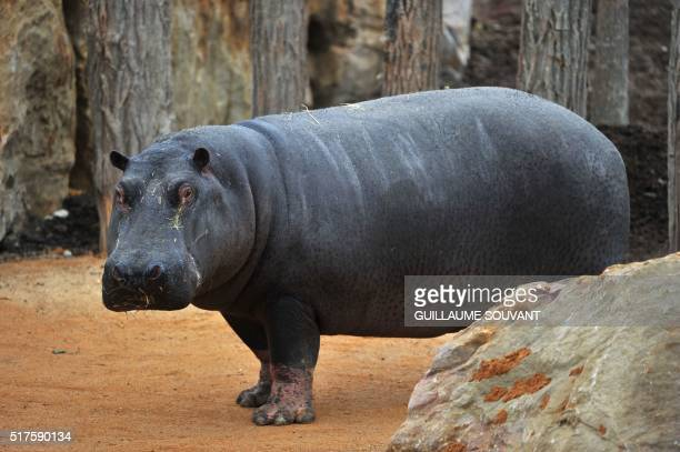 Female hippopotamus named Kiwi walks in her enclosure at the zoological park of Beauval in SaintAignan on March 26 2016 The female named Kiwi and the...