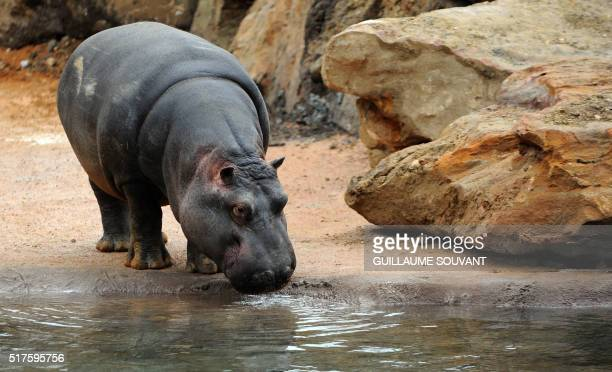 Female hippopotamus named Kiwi walks in her enclosure at the zoological park of Beauval in SaintAignan on March 26 2016 The Beauval Zoo presented on...
