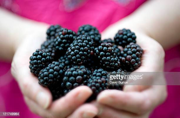female holding blackberries (rubus fruticosus), close up - blackberry fruit stock pictures, royalty-free photos & images