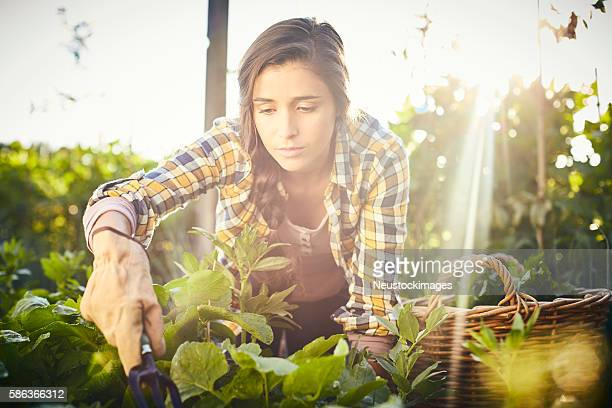 Female holding gardening fork harvesting vegetables at organic f
