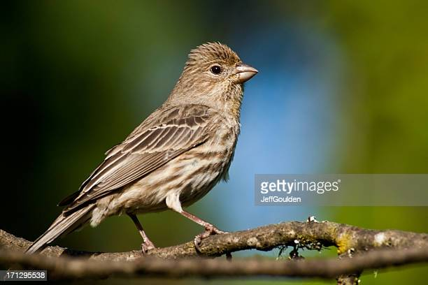 female house finch perched on a branch - house finch stock pictures, royalty-free photos & images